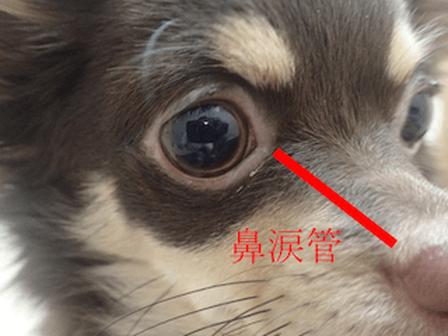 犬 鼻涙管
