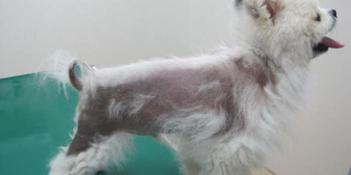 犬 アロペシアX