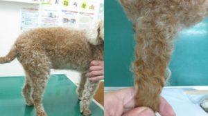 犬 甲状腺機能低下症 治療1ヶ月後