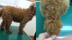 犬 甲状腺機能低下症 治療2ヶ月後