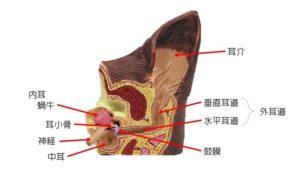 犬の耳の構造
