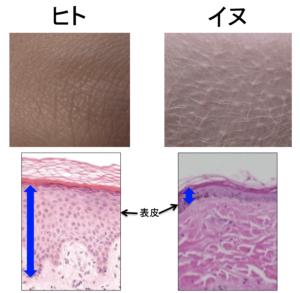ヒト イヌ 皮膚の厚さの違い