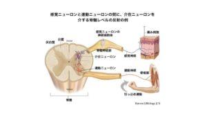 脊髄反射 仕組み