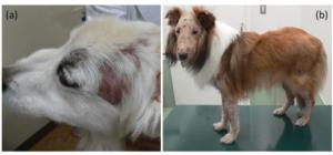 毛包虫症の犬の写真
