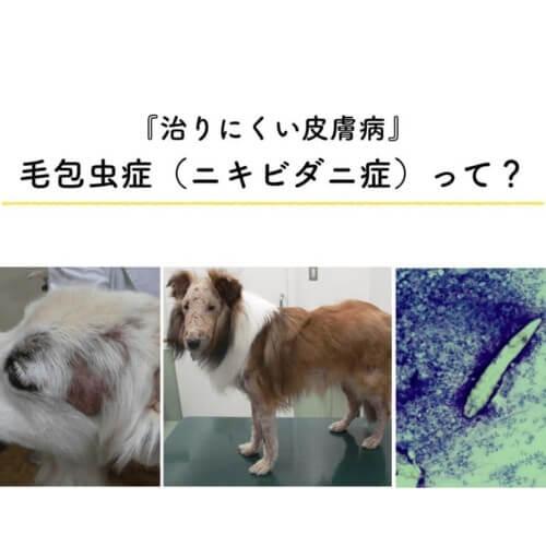 犬猫 毛包虫症 ニキビダニ症