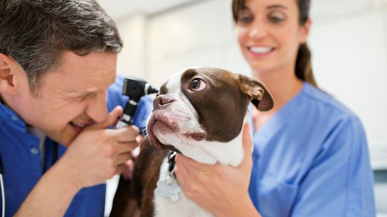 犬の耳をのぞく獣医師